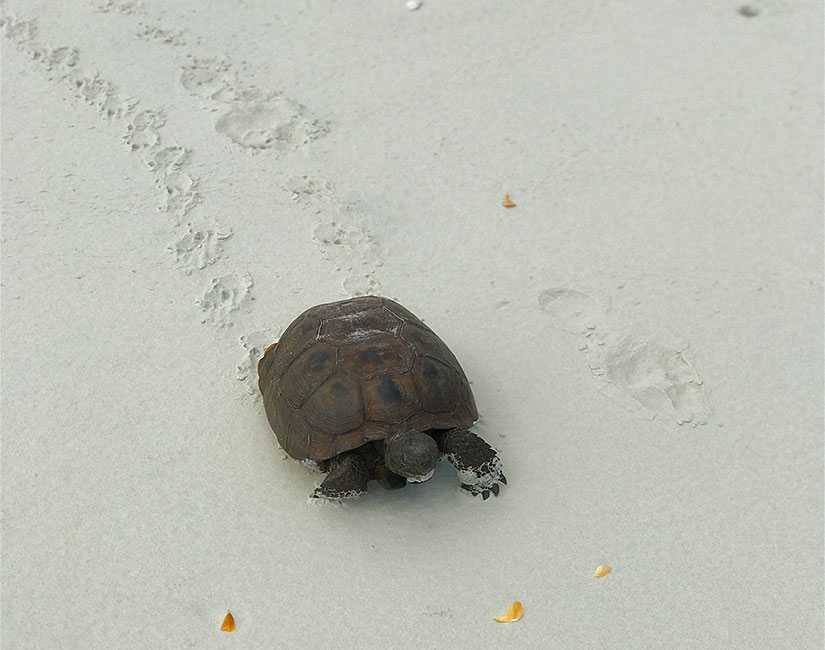 saint-augustine-sea-turtrles-tortoise-florida-matanzas-inlet