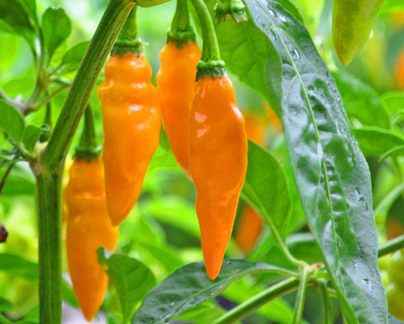 datil-pepper-festival-st-augustine
